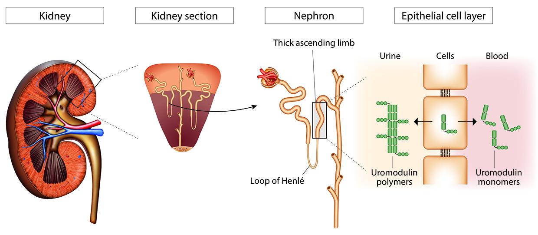 Fein Anatomie Von Nephron In Niere Fotos - Anatomie Von Menschlichen ...